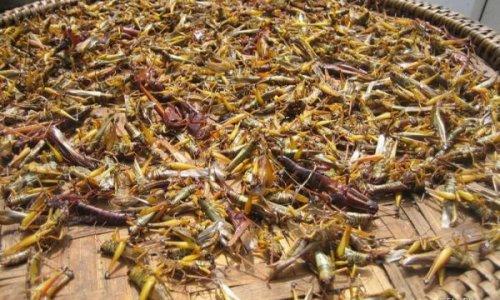 Евросоюз хочет накормить голодающих насекомыми