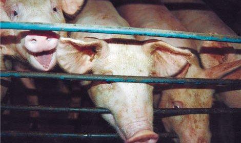 Россельхознадзор может запретить импорт свинины из Европейского союза