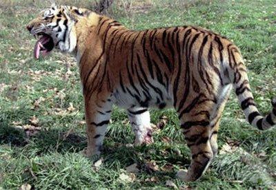 Мониторинг численности амурского тигра начался в Приморском и Хабаровском краях