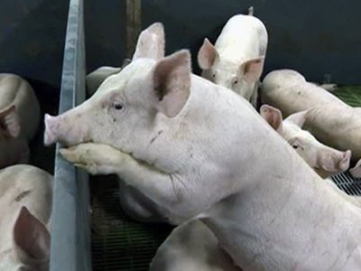 В Тульской области свирепствует африканская чума свиней